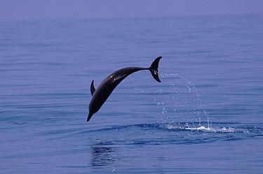 Atlantic Spotted Dolphin (Stenella frontalis) jumping, Bimini, Bahamas  -  Tom Walmsley/ npl