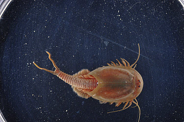 Tadpole Shrimp (Triops cancriformis) magnified, Mediterranean Sea  -  Sinclair Stammers/ npl