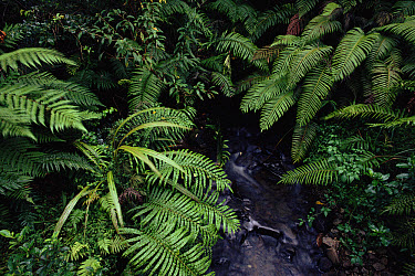 Ferns beside stream in temperate forest, New Zealand  -  Martin Dohrn/ npl