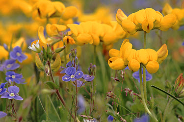 Common Birdsfoot Trefoil (Lotus corniculatus) and Germander Speedwell (Veronica chamaedrys), St Cyrus Nature Reserve, Scotland  -  Brian Lightfoot/ npl