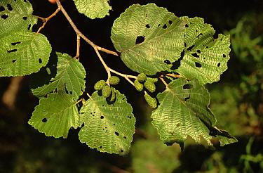 Manchurian Alder (Alnus hirsuta) leaves and fruit, Ussuriland, Primorsky, Russia  -  Yuri Shibnev/ npl