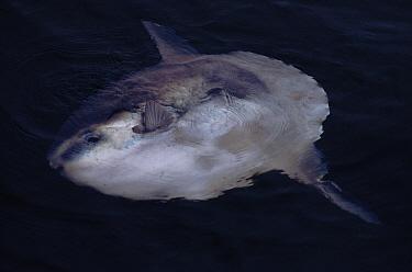 Ocean Sunfish (Mola mola) at the surface, Gibraltar, Mediterranean  -  Tom Walmsley/ npl