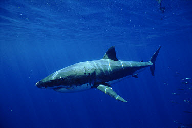 Great White Shark (Carcharodon carcharias) off southern Australia  -  Brent Hedges/ npl