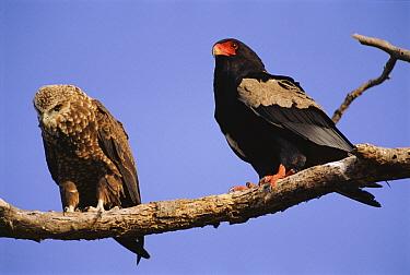 Bateleur Eagle (Terathopius ecaudatus) adult with juvenile, Kruger National Park, South Africa  -  Ron O'Connor/ npl