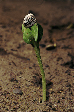 Common Sunflower (Helianthus annuus) seedling, first leaves breaking from seed shell, Italy  -  Fabio Liverani/ npl