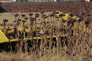 Common Sunflower (Helianthus annuus) crop seed heads drying out, Italy  -  Fabio Liverani/ npl