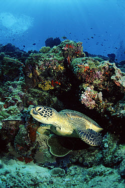 Green Sea Turtle (Chelonia mydas) swimming amongst coral, Sipadan, Malaysia  -  Fabio Liverani/ npl