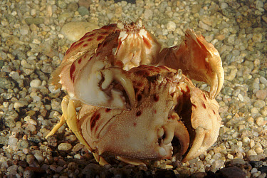 Shamefaced Crab (Calappa granulata) pair mating, Mediterranean Sea, Italy  -  Fabio Liverani/ npl