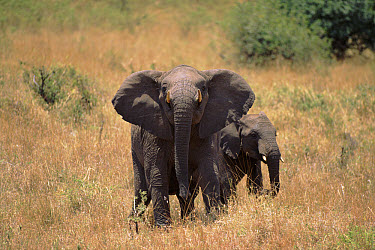 African Elephant (Loxodonta africana) charging photographer's car, Tanzania  -  Torsten Brehm/ npl