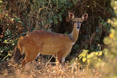 Bushbuck (Tragelaphus scriptus) female, Lake Manjara National Park, Tanzania  -  Torsten Brehm/ npl