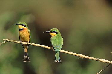 Little Bee-eater (Merops pusillus) pair perching, Manjara National Park, Tanzania  -  Torsten Brehm/ npl