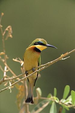 Little Bee-eater (Merops pusillus) perching on branch, Manjara National Park, Tanzania  -  Torsten Brehm/ npl
