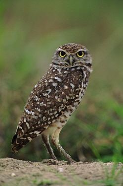 Burrowing Owl (Athene cunicularia) portrait, Florida  -  Torsten Brehm/ npl