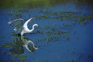 Little Egret (Egretta garzetta) wading, Namibia  -  Torsten Brehm/ npl