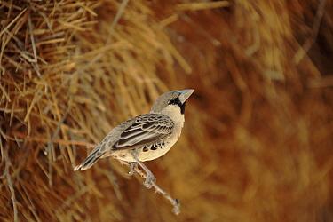 Sociable Weaver (Philetairus socius) perching, Etosha National Park, Namibia  -  Torsten Brehm/ npl