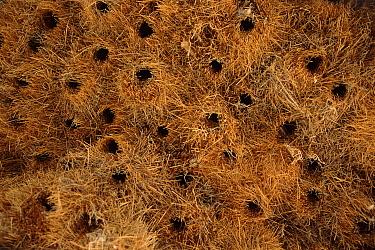 Sociable Weaver (Philetairus socius) nests, Etosha National Park, Namibia  -  Torsten Brehm/ npl