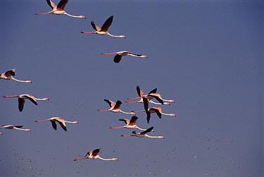Flamingo (Phoenicopterus roseus) flock flying, Nal Savovar Bird Sanctuary, Gujarat, India  -  Ashok Jain/ npl