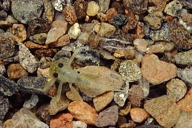 Mayfly (Cloeon sp) nymph molting, note discarded skeleton, Scotland  -  Duncan McEwan/ npl