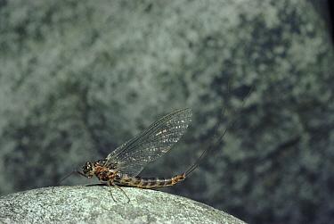 Mayfly (Cloeon sp) resting on rock, Scotland  -  Duncan McEwan/ npl