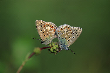 Idas Blue (Plebejus idas) butterfly pair mating, Germany  -  Torsten Brehm/ npl