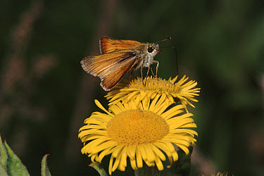 Small Skipper (Thymelicus sylvestris) butterfly feeding, England  -  Sinclair Stammers/ npl