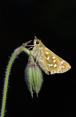 Silver-spotted Skipper (Hesperia comma) butterfly, England  -  George Mccarthy/ npl