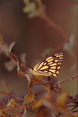 Brown-veined White Butterfly (Anaphaeis aurota) on twig, India  -  Vivek Menon/ npl