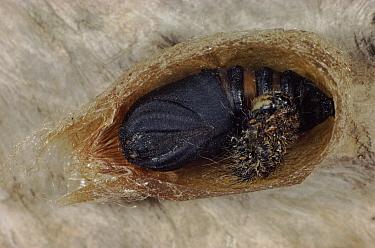 Emperor Moth (Pavonia pavonia) larva pupating, Germany  -  Hans Christoph Kappel/ npl