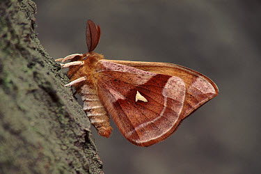 Tau Emperor (Aglia tau) moth, Germany  -  Hans Christoph Kappel/ npl