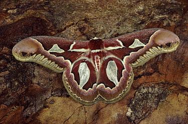 Rothschild's Atlas Moth (Rothschildia jacobaeae), Itatiaia National Park, Brazil  -  Hans Christoph Kappel/ npl