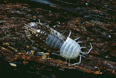 Common Shiny Woodlouse (Oniscus asellus) or Sowbug, shedding exoskeleton Inverness-shire, Scotland  -  Duncan McEwan/ npl