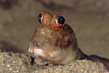 Mudskipper (Periophthalmus sp), Sabah, Borneo  -  Fabio Liverani/ npl
