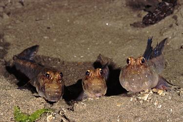 Mudskipper (Periophthalmus sp) group at low tide, Sabah, Borneo  -  Fabio Liverani/ npl