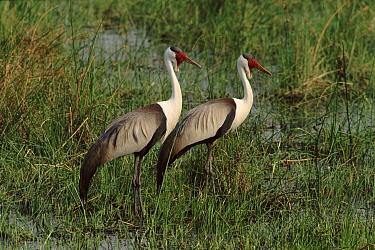 Wattled Crane (Bugeranus carunculatus) pair in marsh, Moremi, Okavango, Botswana  -  Francois Savigny/ npl