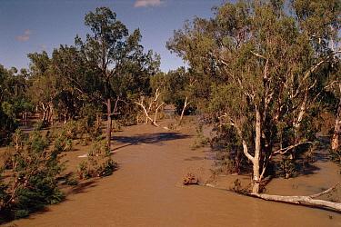 Flooded Eucalyptus forest. Chillagoe, New Queensland, Australia  -  Ross Couper-Johnston/ npl