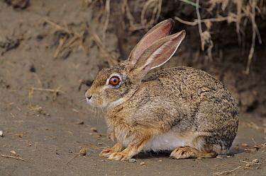 Crawshay's Hare (Lepus crawshayi), Serengeti National Park, Tanzania  -  Mike Wilkes/ npl