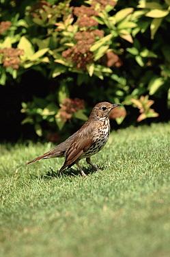Song Thrush (Turdus philomelos), England  -  George Mccarthy/ npl