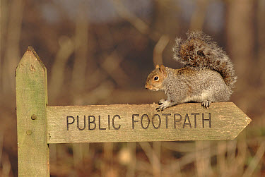 Eastern Gray Squirrel (Sciurus carolinensis) on Public Footpath sign, Sussex, England  -  George Mccarthy/ npl