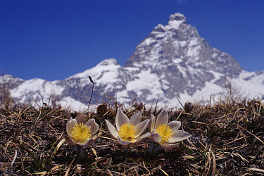 Pale Pasqueflower (Pulsatilla vernalis) with Matterhorn in background, Alps, Italy  -  John Downer/ npl