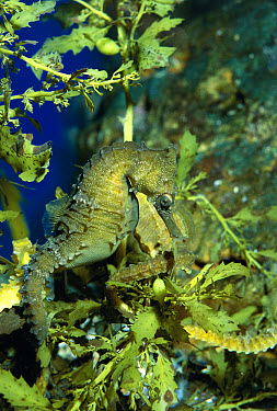 Golden Seahorse (Hippocampus whitei) in Seaweed, Australia  -  Georgette Douwma/ npl