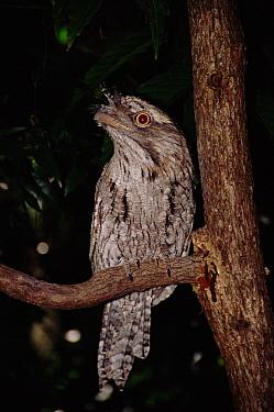 Tawny Frogmouth (Podargus strigoides), North Queensland, Australia  -  Brent Hedges/ npl