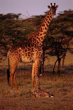 Masai Giraffe (Giraffa tippelskirchi) with young, Masai Mara National Park, Kenya  -  Brent Hedges/ npl