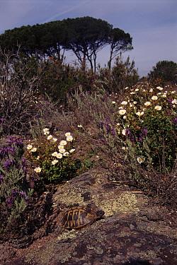 Hermann's Tortoise (Testudo hermanni) amongst flowering Rockrose (Cistus sp), Plaine des Maures, France  -  Jean E. Roche/ npl