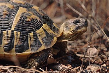 Hermann's Tortoise (Testudo hermanni), Plaine des Maures, France  -  Jean E. Roche/ npl