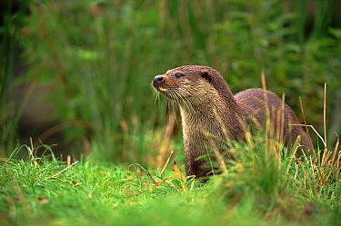 European River Otter (Lutra lutra), Otterpark Aqualutra, Leeuwarden, Netherlands  -  Niall Benvie/ npl