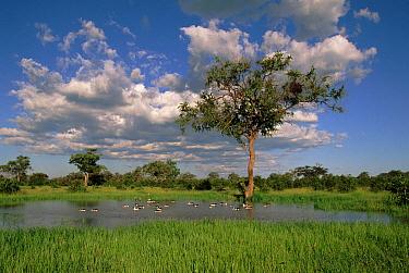 Comb Duck (Sarkidiornis melanotos) group on lake, Savuti, Chobe National Park, Botswana  -  Ron O'Connor/ npl
