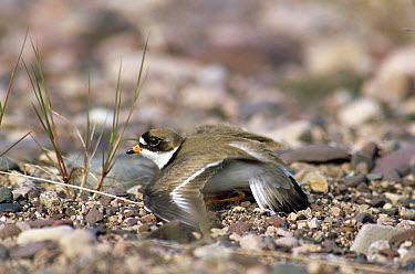 Common Ringed Plover (Charadrius hiaticula) feigning injury, Canada  -  David Welling/ npl