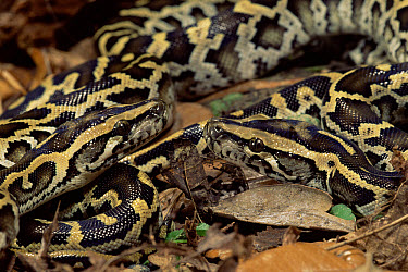 Asian Rock Python (Python molurus) hatchlings, captive  -  Mary Mcdonald/ npl
