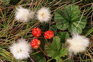 Arctic Cloudberry (Rubus chamaemorus) and Cottongrass (Eriophorum angustifolium), Scotland  -  Brian Lightfoot/ npl