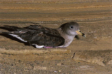 Cory's Shearwater (Calonectris diomedea), Columbretes Islands, a protected marine reserve, Spain  -  Jose B. Ruiz/ npl